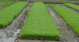 خرید سینی نشا برنج با بهترین قیمت